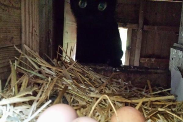 cat-chicken-coop