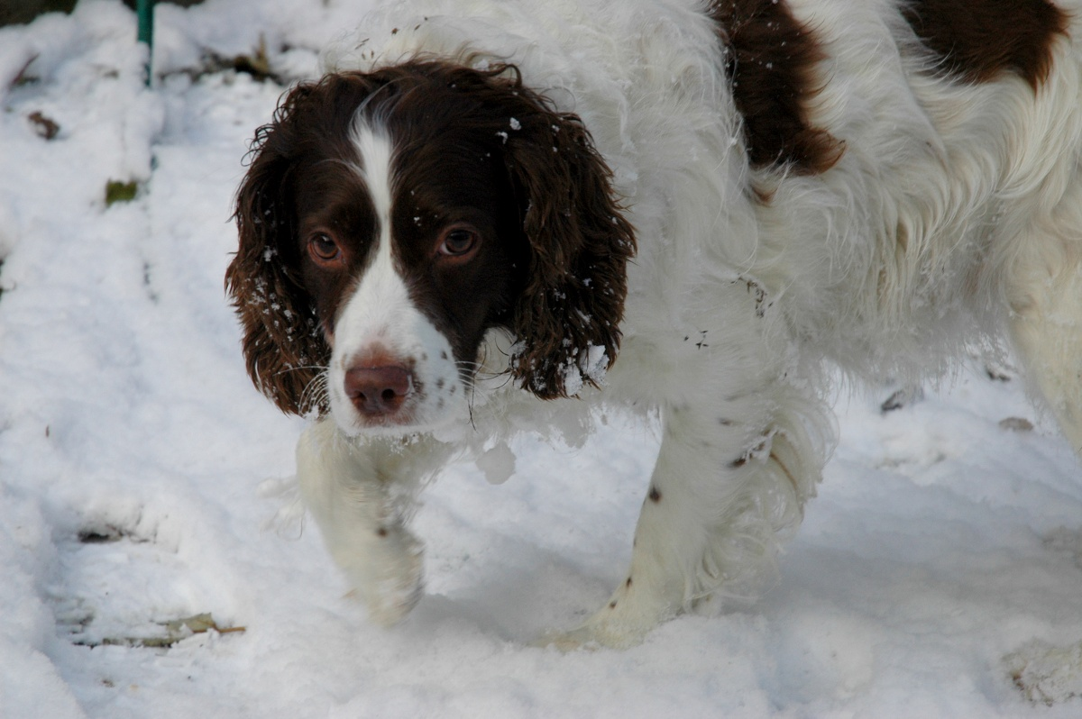snowy-lily